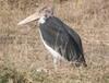 Stork_1