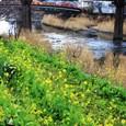 河津川 河畔の菜の花