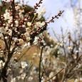 上河津診療所近くの梅の花