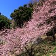 河津桜(上河津診療所近く)