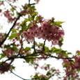 河津桜 ちょっと葉桜
