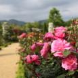 河津バガテル公園 春のバラ