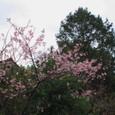 河津桜(今井浜近く)