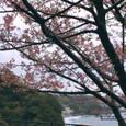 I河津桜(今井浜遠望)
