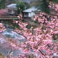 踊子の宿と河津桜