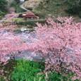 河津桜・菜の花・河津川