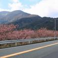 河津桜 国道沿いの並木