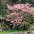 古びた小屋を彩る河津桜