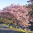 南伊豆 青野川堤防の河津桜