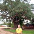 リビングストンの木