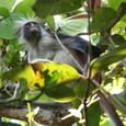 ジョザニ国立公園のレッドコロブス