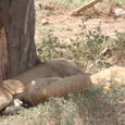木陰で寝ているライオン