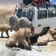 日蔭を求めるライオンたち
