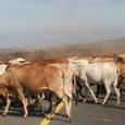 道路を横断する牛