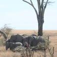 木陰で固まるアフリカ象