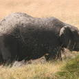 アフリカ象の泥浴び